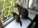 Фретка Фрида и ее подружка Соня...