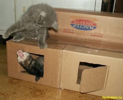 Хорек в домашних условиях с кошкой 146