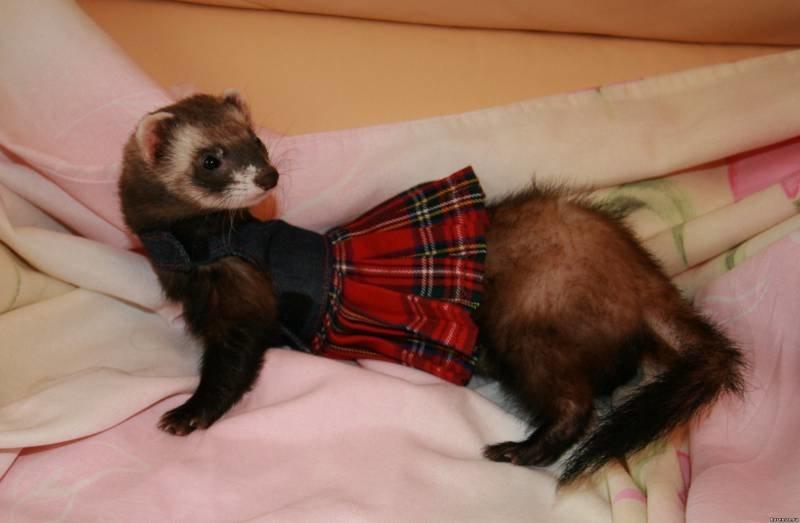 Одежда Для Хорька